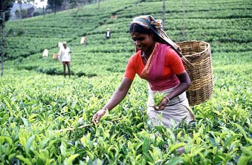 sri-lanka-tea-estate