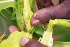 Coordinated Global Action Is the Best Way to Control the Fall Armyworm Pest