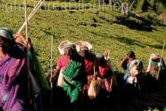 Estate Workers: Deprived Working Community In Sri Lanka