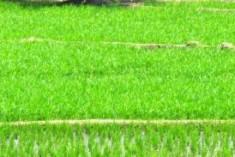 Study Links Kidney Disease in Sri Lanka's Farm Belt to Agrochemicals