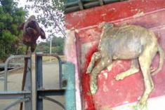 TNA candidate's pet dog killed, it's head fixed on the gate